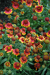 Arizona Sun Blanket Flower (Gaillardia x grandiflora 'Arizona Sun') at The Home And Garden Center