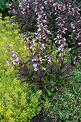 Dark Towers Beard Tongue (Penstemon 'Dark Towers') at The Home And Garden Center