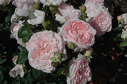 Eglantyne Rose (Rosa 'Eglantyne') at The Home And Garden Center