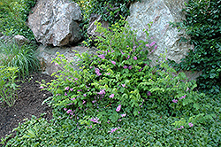 Chinese Indigo (Indigofera kirilowii) at The Home And Garden Center