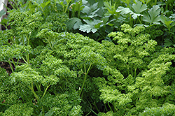 Curly Parsley (Petroselinum crispum 'var. crispum') at The Home And Garden Center