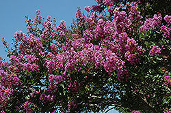 Catawba Crapemyrtle (Lagerstroemia indica 'Catawba') at The Home And Garden Center
