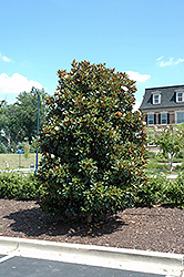 Little Gem Magnolia (Magnolia grandiflora 'Little Gem') at The Home And Garden Center