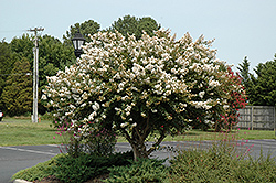 Acoma Crapemyrtle (Lagerstroemia 'Acoma') at The Home And Garden Center