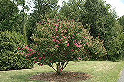 Tonto Crapemyrtle (Lagerstroemia 'Tonto') at The Home And Garden Center