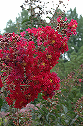 Arapaho Crapemyrtle (Lagerstroemia 'Arapaho') at The Home And Garden Center