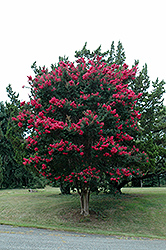 Tuscarora Crapemyrtle (Lagerstroemia 'Tuscarora') at The Home And Garden Center