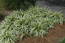Variegata Lily Turf (Liriope muscari 'Variegata') at The Home And Garden Center