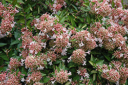 Canyon Creek Abelia (Abelia x grandiflora 'Canyon Creek') at The Home And Garden Center