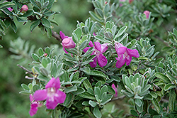 Texas Sage (Leucophyllum frutescens) at The Home And Garden Center