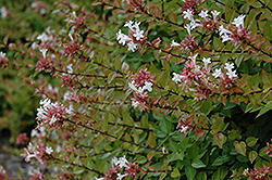 Rose Creek Abelia (Abelia x grandiflora 'Rose Creek') at The Home And Garden Center