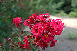 Siren Red Crapemyrtle (Lagerstroemia indica 'Whit VII') at The Home And Garden Center