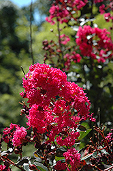 Pink Velour Crapemyrtle (Lagerstroemia indica 'Whit III') at The Home And Garden Center