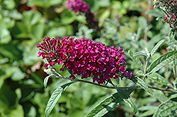 Queen Of Hearts Butterfly Bush (Buddleia 'Queen Of Hearts') at The Home And Garden Center