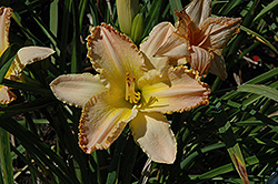 Pizza Crust Daylily (Hemerocallis 'Pizza Crust') at The Home And Garden Center