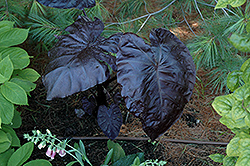 Royal Hawaiian® Black Coral Elephant Ear (Colocasia esculenta 'Black Coral') at The Home And Garden Center