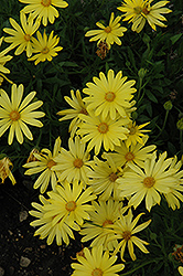 Voltage™ Yellow African Daisy (Osteospermum 'Voltage Yellow') at The Home And Garden Center