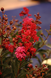 Enduring Summer Red Crapemyrtle (Lagerstroemia 'PIILAG B5') at The Home And Garden Center