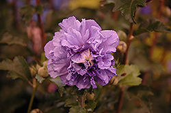 Blueberry Smoothie Rose of Sharon (Hibiscus syriacus 'DS01BS') at The Home And Garden Center