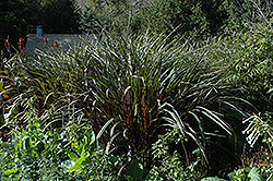 Prince Fountain Grass (Pennisetum purpureum 'Prince') at The Home And Garden Center