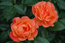 Livin' Easy™ Rose (Rosa 'HARwelcome') at The Home And Garden Center
