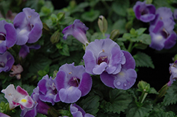 Blue Moon Torenia (Torenia 'Blue Moon') at The Home And Garden Center