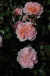 Apricot Drift Rose (Rosa 'Meimirrote') at The Home And Garden Center