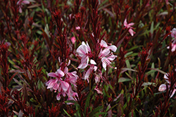 Passionate Blush Gaura (Gaura lindheimeri 'Passionate Blush') at The Home And Garden Center