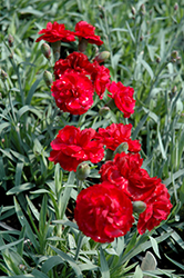 Early Bird™ Radiance Pinks (Dianthus 'Wp08 Mar05') at The Home And Garden Center