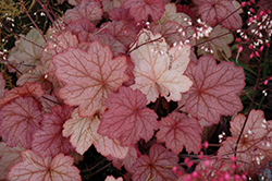 Georgia Peach Coral Bells (Heuchera 'Georgia Peach') at The Home And Garden Center