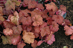 Southern Comfort Coral Bells (Heuchera 'Southern Comfort') at The Home And Garden Center
