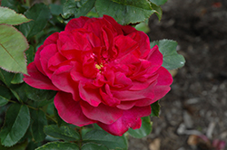 Darcey Bussell Rose (Rosa 'Darcey Bussell') at The Home And Garden Center