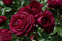 Twilight Zone Rose (Rosa 'WEKebtidere') at The Home And Garden Center