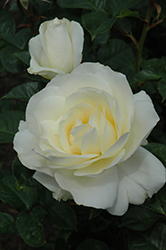 Moondance Rose (Rosa 'Moondance') at The Home And Garden Center