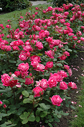 Double Knock Out® Rose (Rosa 'Radtko') at The Home And Garden Center