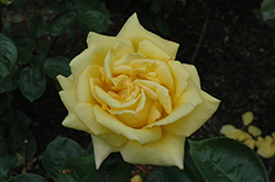 Oregold Rose (Rosa 'Oregold') at The Home And Garden Center