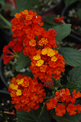 Bandana® Red Lantana (Lantana camara 'Bandana Red') at The Home And Garden Center