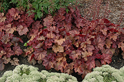 Lava Lamp Coral Bells (Heuchera 'Lava Lamp') at The Home And Garden Center