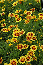 Enchanted Eve Tickseed (Coreopsis 'Enchanted Eve') at The Home And Garden Center