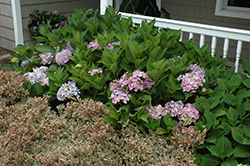 Cityline® Paris Hydrangea (Hydrangea macrophylla 'Paris Rapa') at The Home And Garden Center