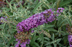 Blue Knight Butterfly Bush (Buddleia 'Blue Knight') at The Home And Garden Center