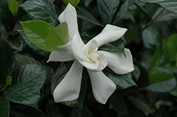 August Beauty Gardenia (Gardenia jasminoides 'August Beauty') at The Home And Garden Center