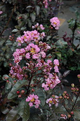Rhapsody In Pink Crapemyrtle (Lagerstroemia indica 'Whit VIII') at The Home And Garden Center