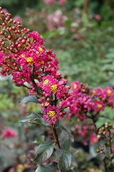Plum Magic Crapemyrtle (Lagerstroemia 'Plum Magic') at The Home And Garden Center