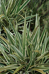 Variegated Flax Lily (Dianella tasmanica 'Variegata') at The Home And Garden Center