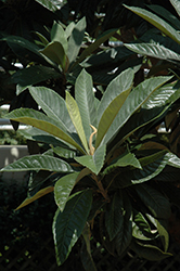 Loquat (Eriobotrya japonica) at The Home And Garden Center