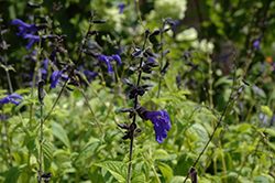 Black And Blue Anise Sage (Salvia guaranitica 'Black And Blue') at The Home And Garden Center