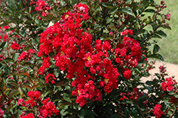 Dynamite Crapemyrtle (Lagerstroemia indica 'Whit II') at The Home And Garden Center