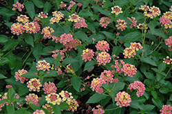 Landmark Rose Glow Lantana (Lantana camara 'Landmark Rose Glow') at The Home And Garden Center