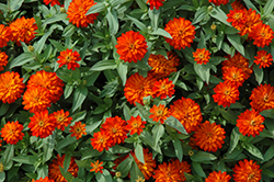 Zahara® Double Fire Zinnia (Zinnia 'Zahara Double Fire') at The Home And Garden Center
